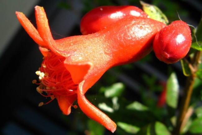 柘榴 La flor del GRANADO