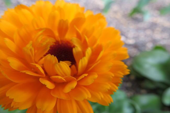 金盞花(キンセンカ)CALÉNDULA