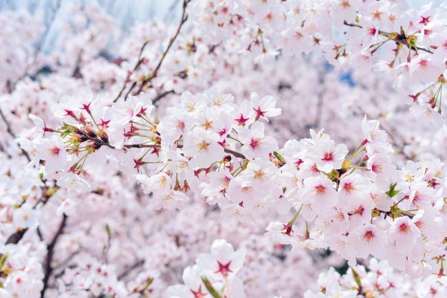 桜 FLOR DE CEREZO(SAKURA)